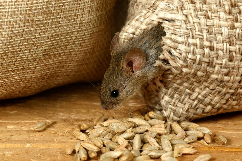 избавиться от крыс