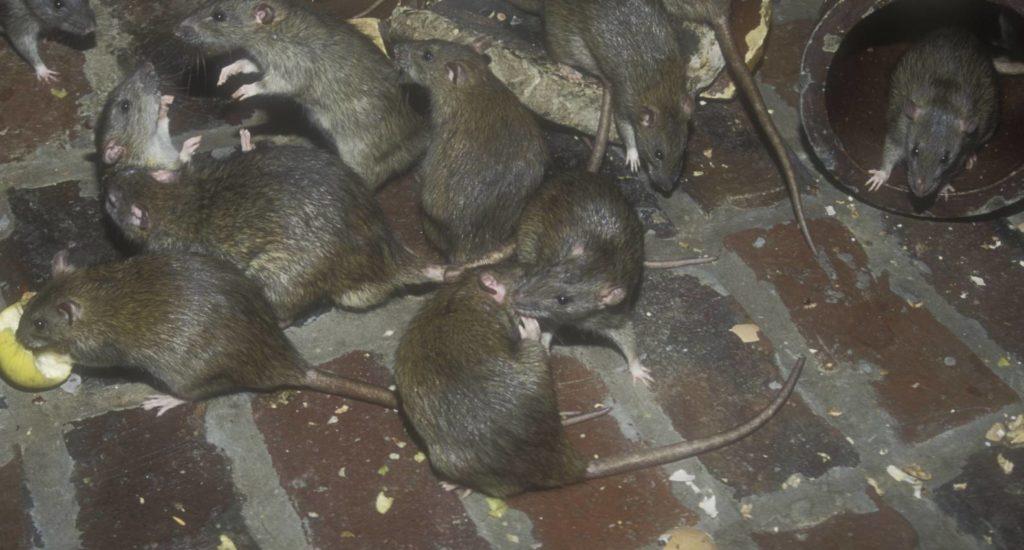 уничтожение крыс в Твери